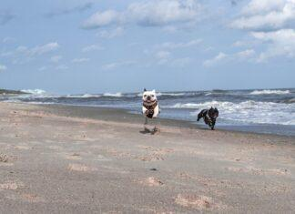 French bulldogs on beach at Fort Fisher North Carolina Wilmington photo by photographer Alexa Fitzpatrick